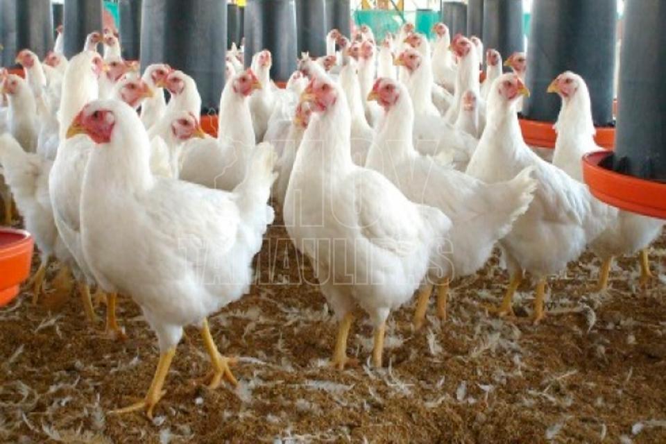 Descartan riesgo en producción avícola por influenza aviar en dos estados