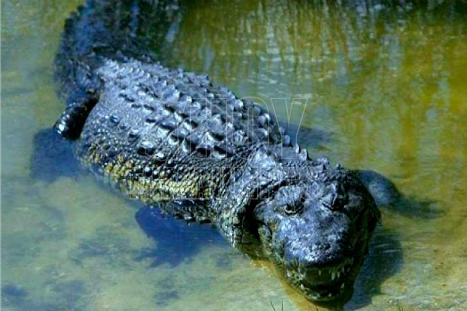 Captura Profepa cocodrilo de 4 metros en Tamaulipas que merodeaba casas