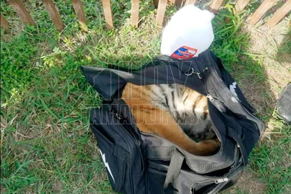 Rescatan tigre que era llevado de contrabando